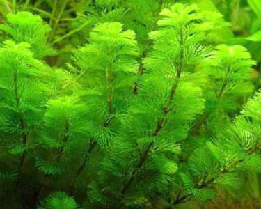 Cabomba Green 3