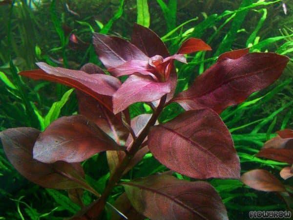 Ludwigia Repens Red Rubin 1