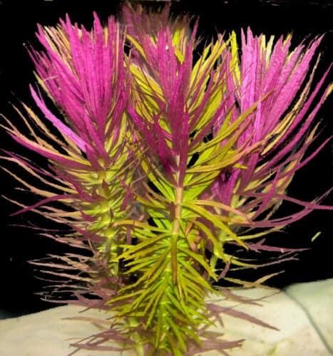 limnophila-aromatica