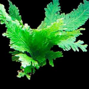 Peacock Fern