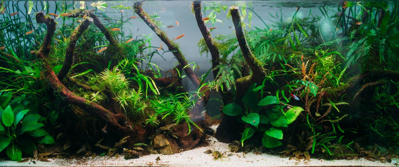 An aquarium with algae and Amano Shrimp