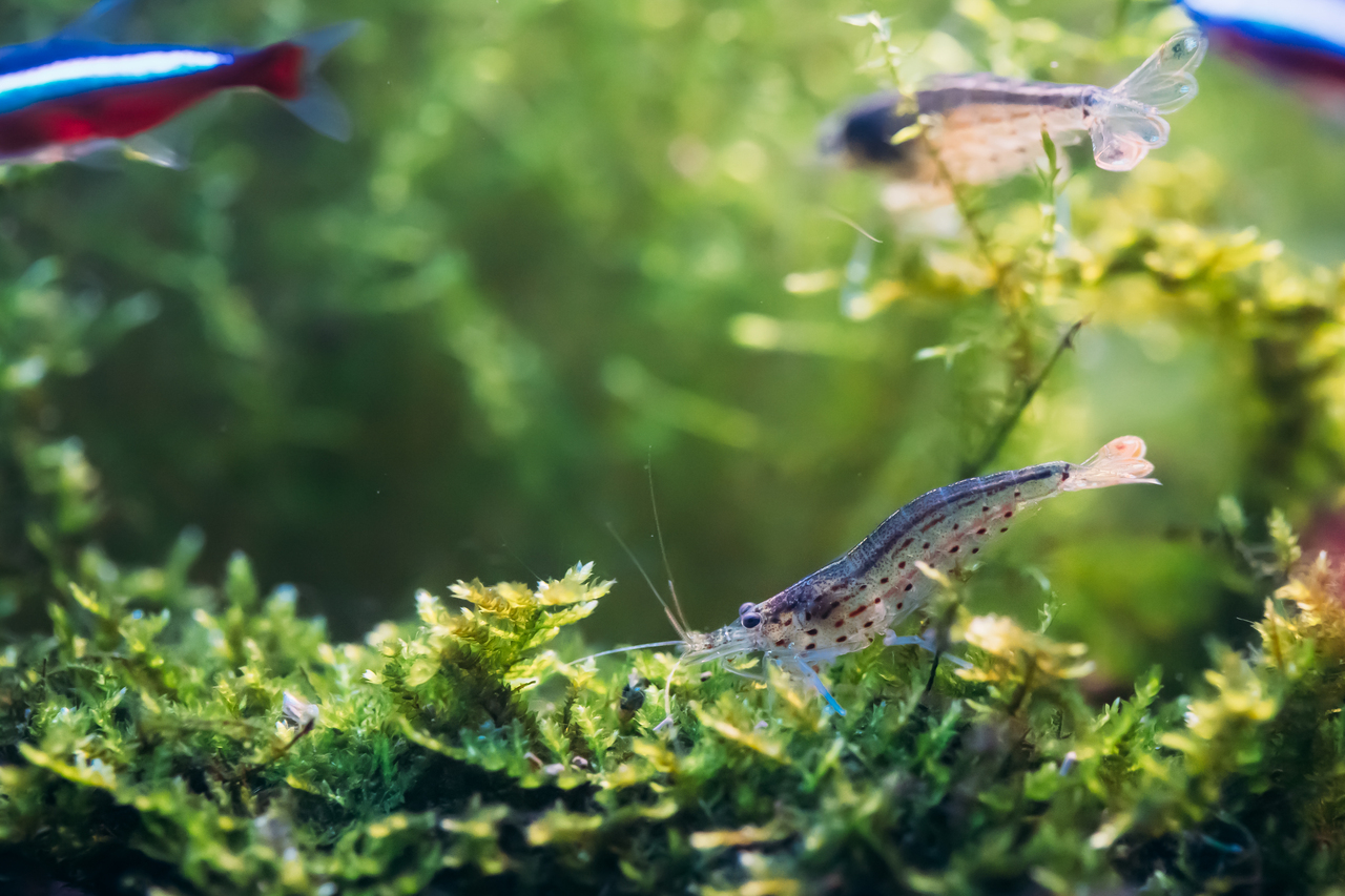 Amano Shrimp in an Aquarium with Other Peaceful Fish
