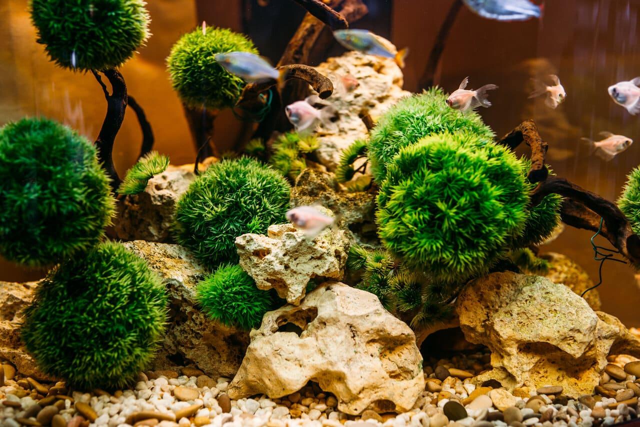 Consumes Algae