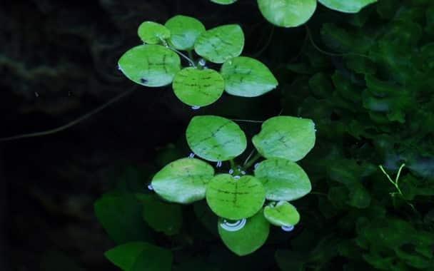 Frogbits