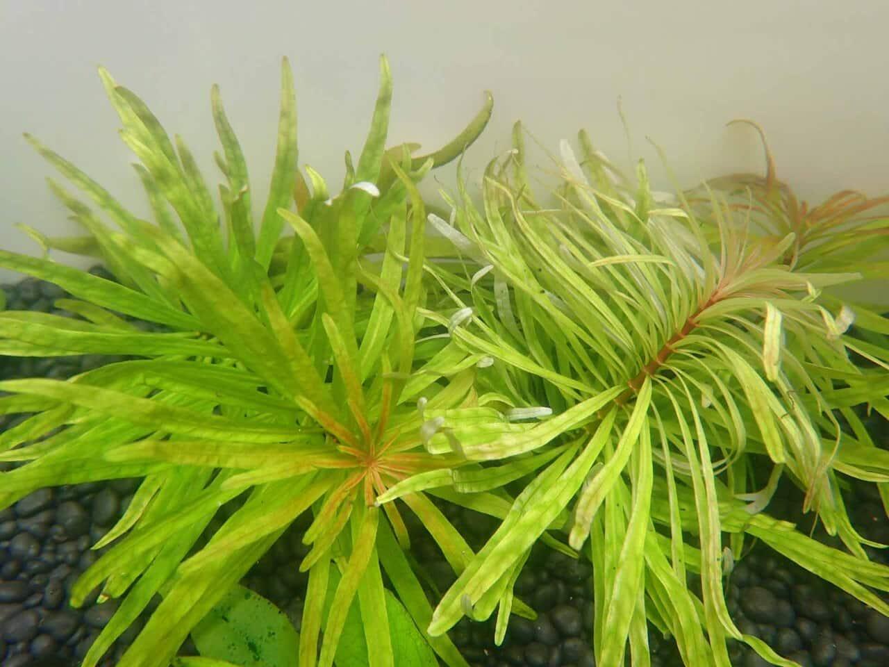 Ammannia Pedicellata