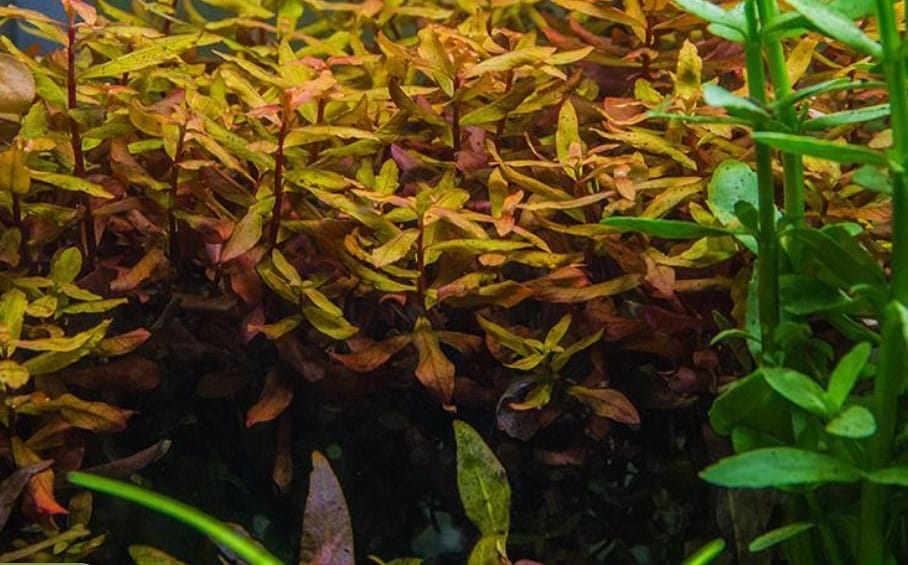 Hygrophila Corymbosa Compact