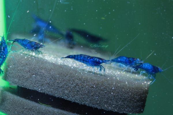 Blue Shrimp Neocaridinia Davidi group