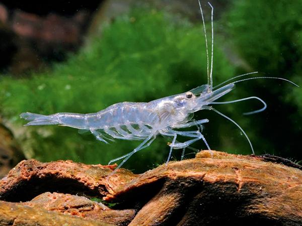 Ghost-Shrimp PH