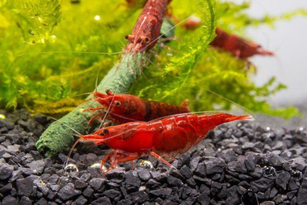 red-cherry-shrimp-ph