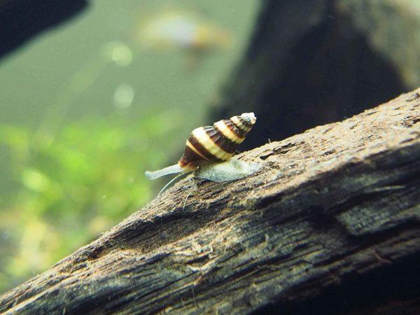 Assassin Snail Philippines